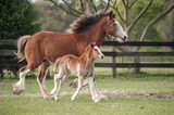 Miniature Clydesdale mare with foal at side - 245423688