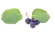 Saskatoon berries on a white
