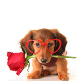 Dachshund Valentine puppy with a rose and heart shaped glasses.