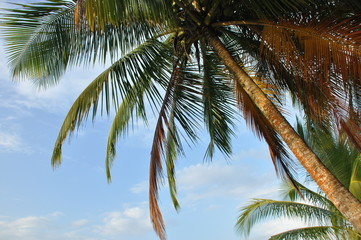 Coconut palm trees growing on the coast of Central America, Panama.