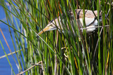 Little Bittern (Ixobrychus minutus) Spring, adult, female, perched in the reeds, Lower Moors, St Mary's, Isles of Scilly, England, UK. - 245491429