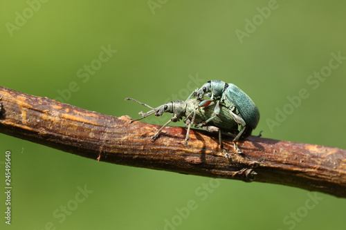 Foto Murales A mating pair of pretty Green Leaf Weevil perching on a plant stem.