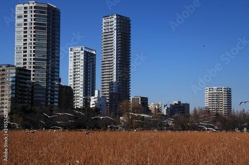 冬の都会の蓮池とその上を飛ぶカモメたち