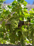 Wine Production - Grapes on a grapevine poster