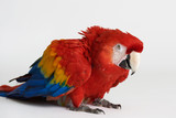 Angry red parrot