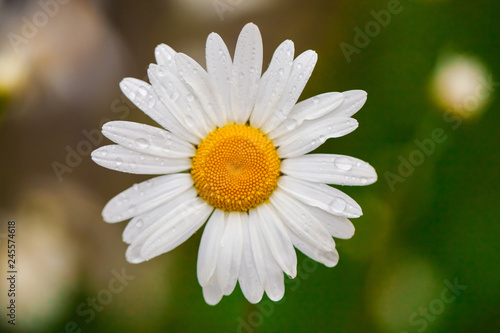 Chamomile or camomile flower with drops of water on the white petals after rain. Close up. Macro. - 245574618
