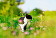 portrait of a cute cat walking on a lush green meadow on a warm summer evening and sniffing the flowers of fragrant pink clover