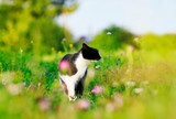 Fototapeta Koty - portrait of a cute cat walking on a lush green meadow on a warm summer evening and sniffing the flowers of fragrant pink clover © nataba