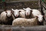 four sheep stand in a paddock and are looking forward - 245598093
