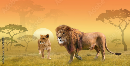 Two lions hunting in savanna in the morning sun, collage © NMint