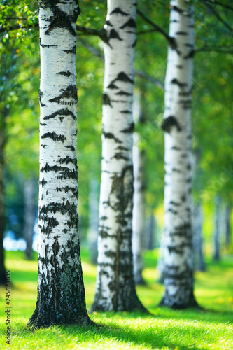 Birch trees (Betula pendula) in the park. Focus on foreground tree trunk. Shallow depth of field.  - 245623635