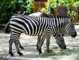Photo of a pair of Zebras feeding on leaves