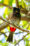 Red-vented bulbul (Pycnonotus cafer) sitting on a tree - 245653853