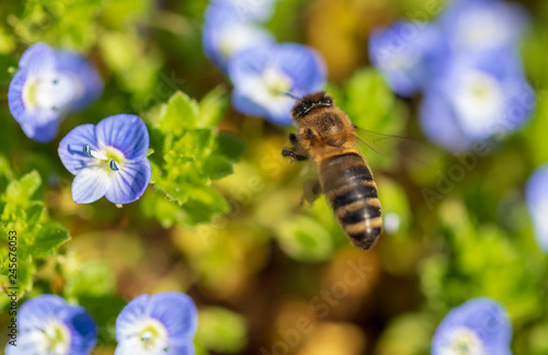 Bee on small blue flowers on the grass - 245676053