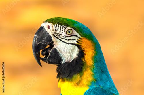 Leinwanddruck Bild ein Papagei (Gelbbrustara) in freier Wildbahn
