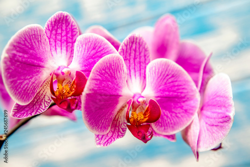 A branch of purple orchids on a blue wooden background  - 245687699