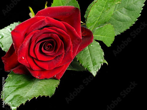 Rosa Rossa Su Sfondo Nero Buy Photos Ap Images Detailview