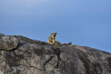 Lion Mother lying on top of a rock