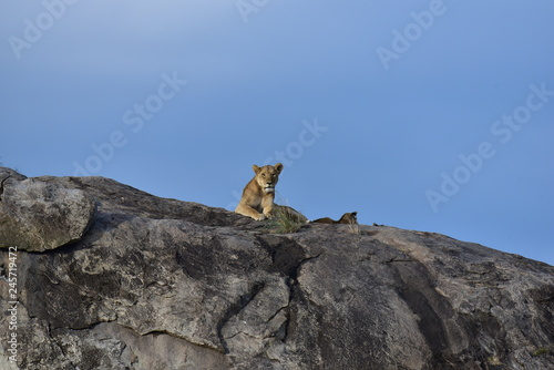 Lion Mother lying on top of a rock © Bjrn