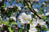 Blüten des Apfelbaums im Frühling, Nahaufnahme