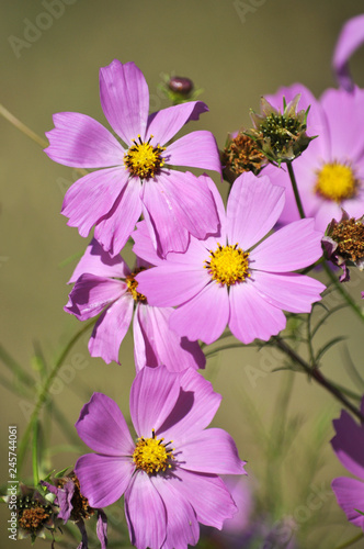Pink color blossom Cosmos