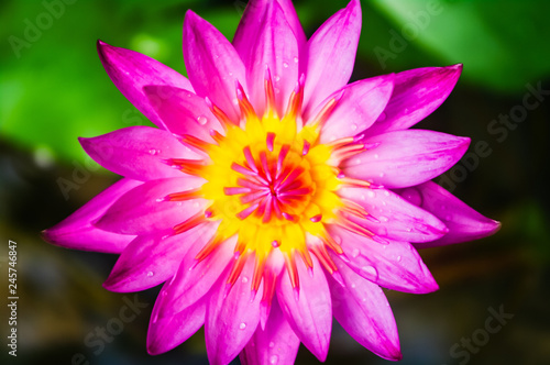 lotus flower - 245746847