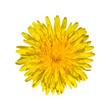 Bright yellow dandelion close up. Flower head.