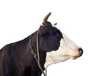 Black and white cow portrait close up. Farm animals.