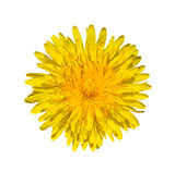 Fototapeta Fototapeta z dmuchawcami - Bright yellow dandelion close up. Flower head. © esvetleishaya