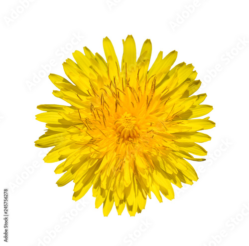 Bright yellow dandelion close up. Flower head.