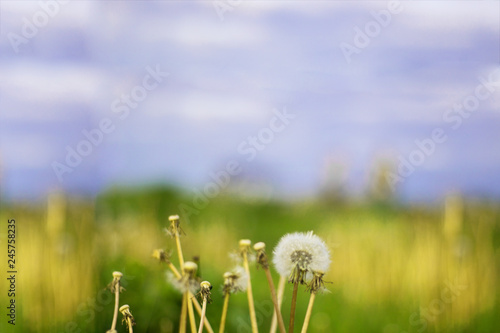 Vintage photo of dandelions on the background of meadow and sky. Blured. Horizontal