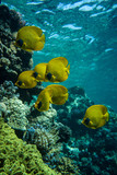 Masked butterflyfish on the coral reef in Red Sea