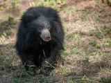 Indian sloth bear in Ranthambore National Park in Rajasthan, India - 245774624