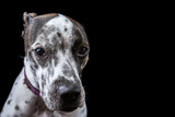 White and Black Spotted Dog Face
