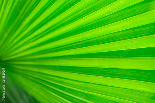 Close-up and long exposure effect of green fan palm leaf on blurred motion under sunlight in the morning, abstract of greenery nature background, for use wallpaper and backdrop on eco green concept. - 245829269