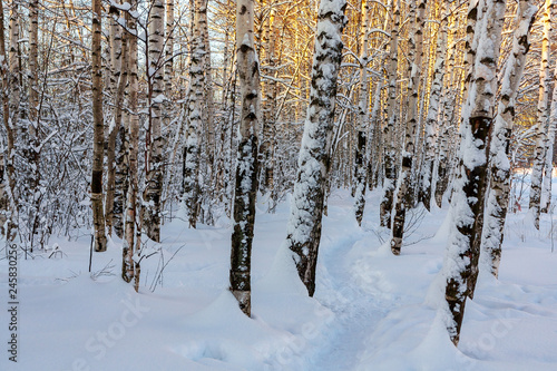 Winter snowy birch grove and footpath in the sunset light - 245830256
