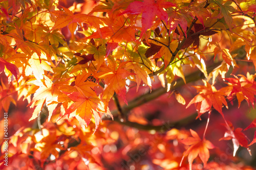 Beautiful maple leaves patterns in autumn on a tree branch close to sunset on a blurred background in a park in Fujikawaguchiko, a resort town in Japan, near the legendary Mount Fuji. - 245838431