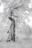 Winter in frost forest with tree and snow - 245878859