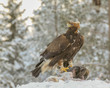 Golden eagle rips pieces of meat from frozen racoon carcass