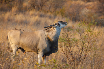 Eland {Taurotragus oryx} and red-billed oxpecker (Buphagus erythrorhynchus). North West Province. South Africa
