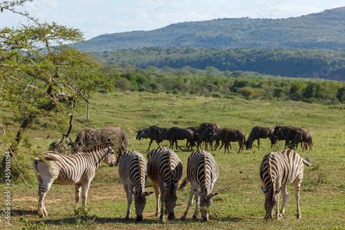 Plains zebra (Equus quagga, prev. Equus burchellii), Burchell's zebra or quagga and Blue wildebeest (Connochaetes taurinus),  white-bearded wildebeest, or brindled gnu.  KwaZulu Natal. South Africa