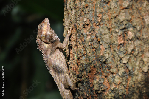 Chameleon clinging to a tree
