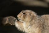 オグロプレーリードッグ Black-tailed Prairie Dog