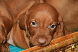 Four  Hungarian Vizsla dog puppy on a wicker crate