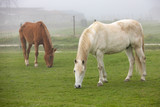 Horses grazing in a foggy day