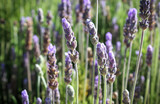 Fototapeta Lawenda - Close up of a wild lavender field in summer © Anna