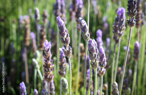 Close up of a wild lavender field in summer