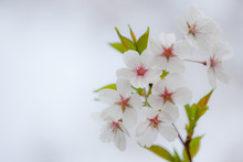 """Постер, картина, фотообои """"A delicate branch with cherry blossoms and green little leaves."""""""