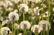Meadow Of Dandelions - 245948850