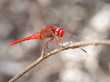 Broad Scarlet dragonfly (Crocothemis erythraea) perched on a branch of a bush, near Almansa, Spain